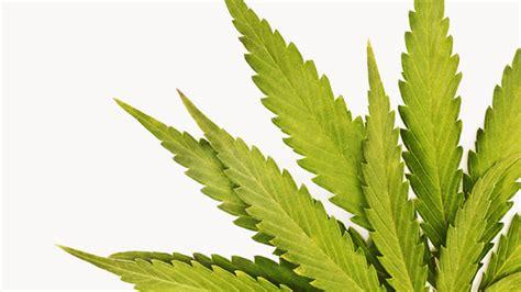 Leaf Detox Tea Thc by Marijuana Detox What You Should