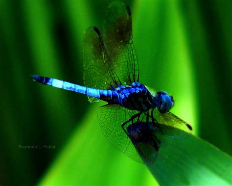 images of dragonflies other sizes 1680x1050 1280x800 1280x1024