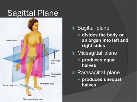 divides body or organ into unequal right and left sections an introduction to the human body ppt video online download
