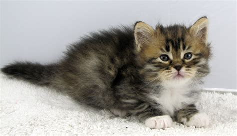 cat price beware buying a siberian kitten before you buy a kitten