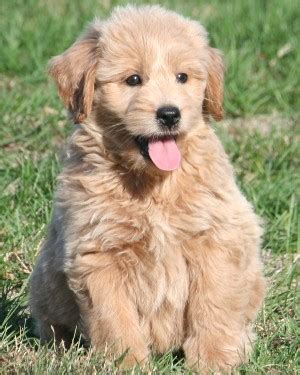 goldendoodle puppy to grown the miniature goldendoodle breeds picture
