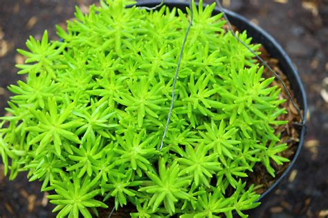 kualitas ok tanaman gantung hias jual tanaman hias gantung portulaca kayyisa fam