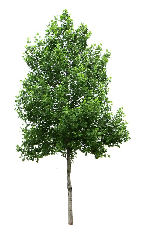 image of tree birchtree wholesale only