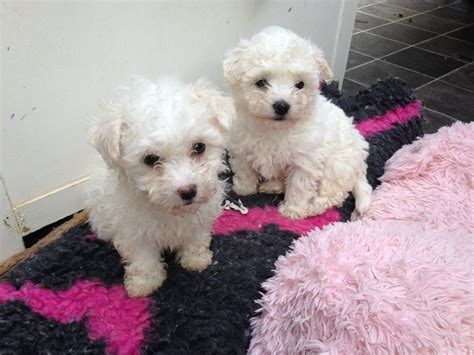 bolognese puppies beautiful bolognese puppies for sale maidenhead berkshire pets4homes