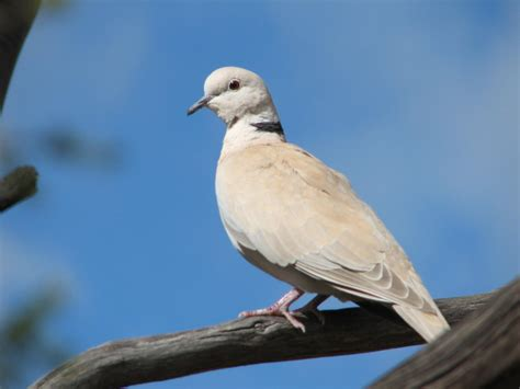 trevor s twitchings of australian birds barbary dove