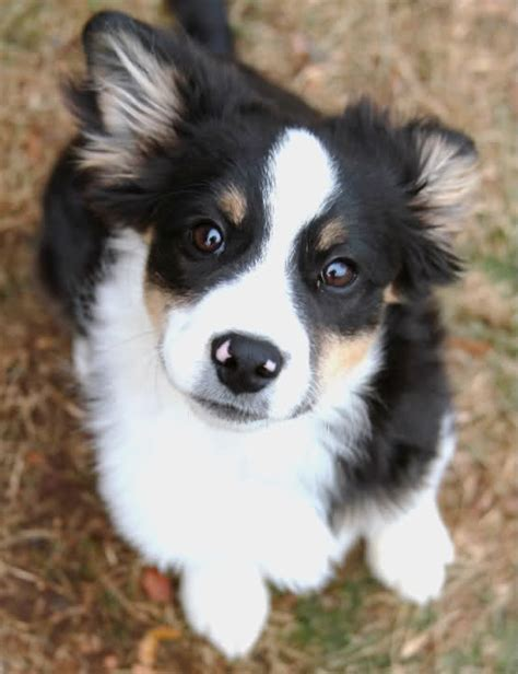 border collie pug mix puppies chihuahua mix puppies hairstyles