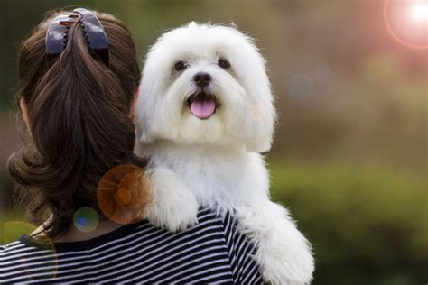 Do Maltese Dogs Shed A Lot maltese breed information photos grooming and care advice