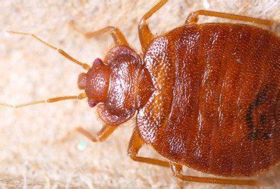 exterminating bed bugs will an exterminator get rid of bed bugs how to get rid
