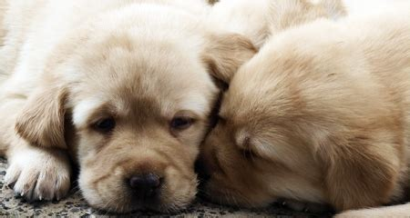 golden retriever litter size golden retriever average litter size dogs our friends photo