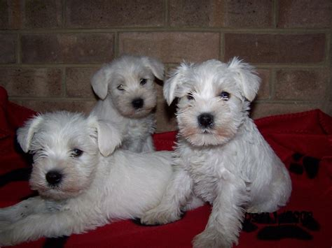 white schnauzer puppy white miniature schnauzer puppies for sale bradford west pets4homes