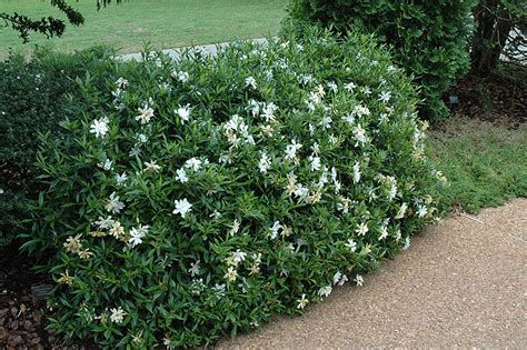 gardenia care guide why didn t i think of that gardenia radicans a perfect solution for an attractive