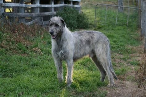 Wolfhound Shed by Ornumflow Wolfhounds