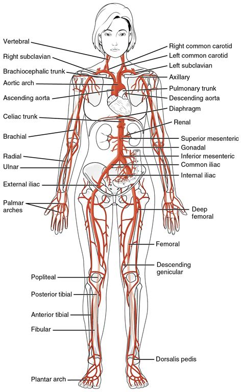 what color is blood inside the human this diagrams shows the major arteries in the human