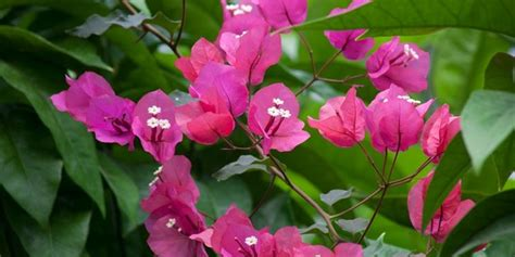 bouganville fiore bouganville potatura ricanti come effettuare la