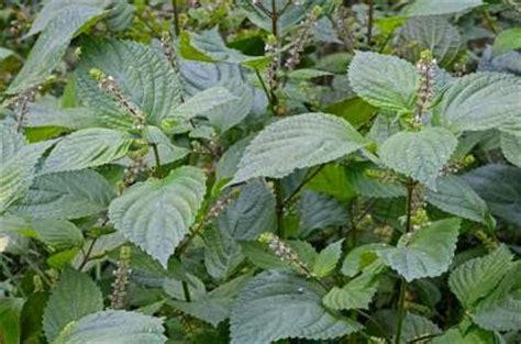 perilla tanaman herbal  melawan alergi resep