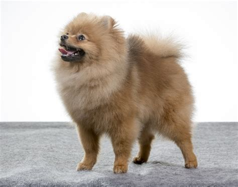 pomeranian dogs info pomeranian breed information buying advice photos and facts pets4homes