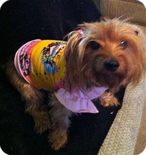 yorkie rescue goodyear az adopted goodyear az yorkie terrier dachshund mix