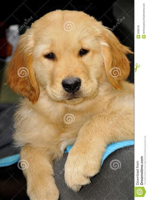 free golden retriever puppies golden retriever yawning royalty free stock photography image breeds picture