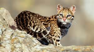 Do Jaguars Eat Snakes What Do Ocelots Eat Reference