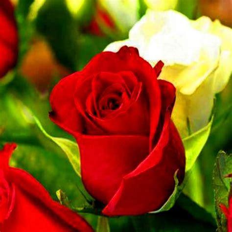imagenes flores jpg fotos de flores blancas hermosas 2 jpg 600 215 600 rosa