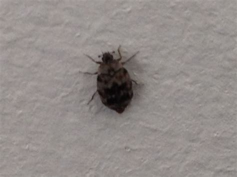 little brown bugs in house small house bugs identification pictures to pin on pinterest pinsdaddy