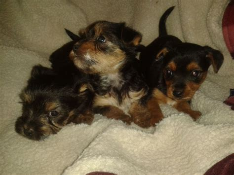 yorkie and chihuahua yorkie x chihuahua puppies addlestone surrey pets4homes
