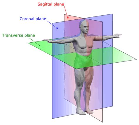 body orientation direction planes and sections anatomical terms meaning anatomy regions planes areas