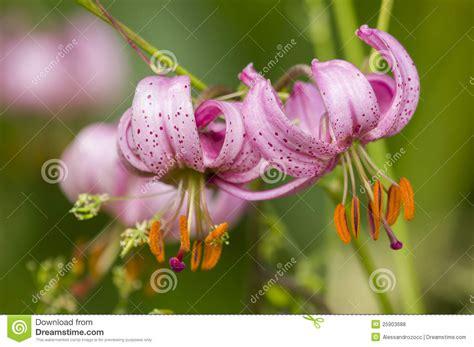 imagenes flores salvajes flores salvajes del lilium fotos de archivo libres de