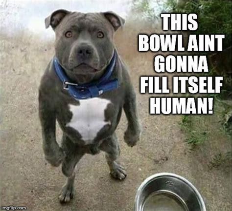 Pitbull Memes - pitbull dog memes dog breeds picture