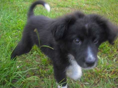 collie dogs flipper the border collie puppy adopted the liberator