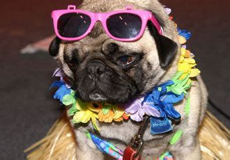 how much do pugs cost to buy festival season kicks this weekend in chicago nowyouknow