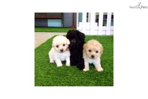 cinnamon maltipoo puppies for sale maltipoo dogs for sale in louisiana breeds picture
