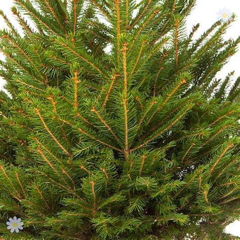 pot grown living christmas tree