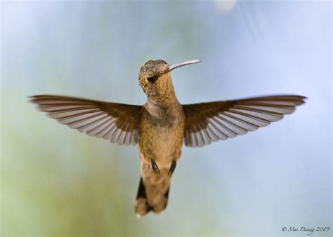 broad tailed hummingbirds in southern nevada mac danzig