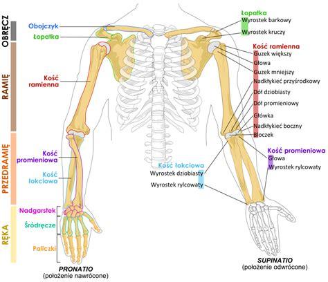 arm bone diagram file human arm bones diagram pl svg