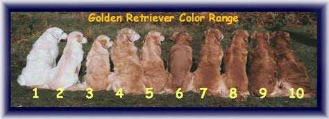 golden retriever vs american american golden retriever vs dogs in our photo