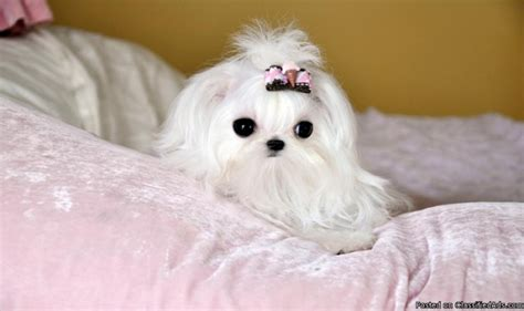 maltese price 2 5 lbs fully grown teacup maltese price 7000 in glen allen alabama cannonads
