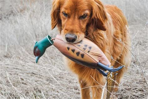 how to your to retrieve birds tips to recover more wounded birds gun magazine
