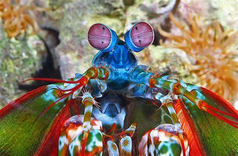 mantis shrimp colors national aquarium peacock mantis shrimp