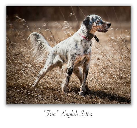 setter puppies mn setter puppies mn breeds picture