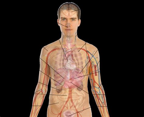 human organs diagram human organs diagram human anatomy diagram