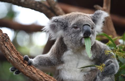 Hairy future for Australia's beloved koala   The Japan Times