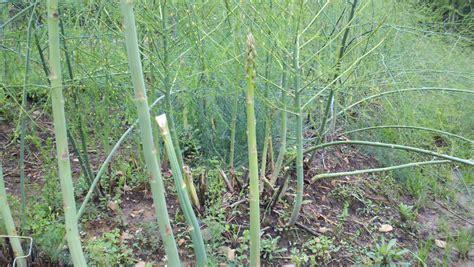 growing asparagus bonnie plants