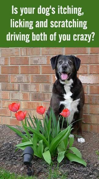 apoquel for dogs is apoquel safe for dogs with allergies chasing tales