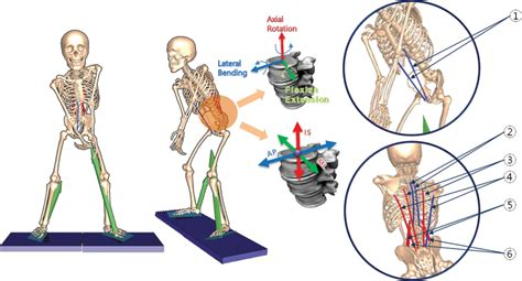 golf swing biomechanics anatomy biomechanical effect of altered lumbar lordosis on
