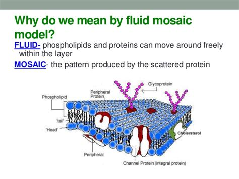 mosaic pattern protein cells and cell transports