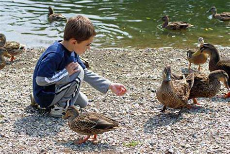 feeding ducks british bird lovers