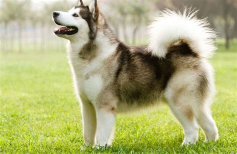 expensive dogs most expensive breeds in the world 2017 top 10 list