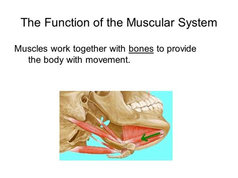 section 36 2 the muscular system the skeletal system ppt video online download
