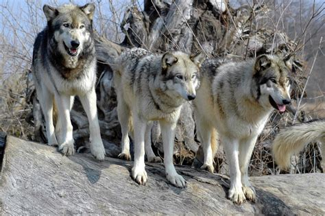 im 225 genes de un lobo gris im 225 genes y fotos lobos su post taringa